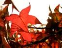 Backlit red autumn leaf