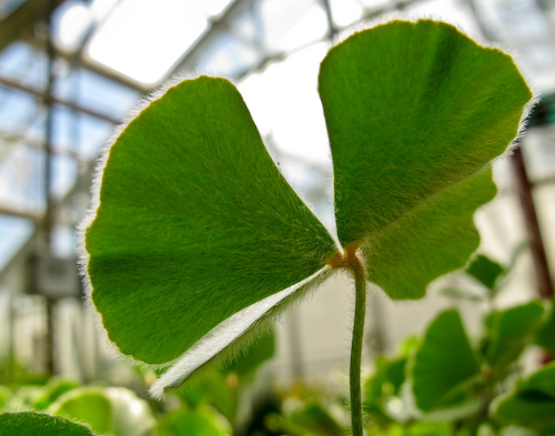 Backlit oxalis leaf with fuzzy texture
