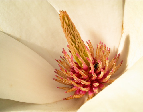 Magnolia stamens and pistils with small spider in pistils