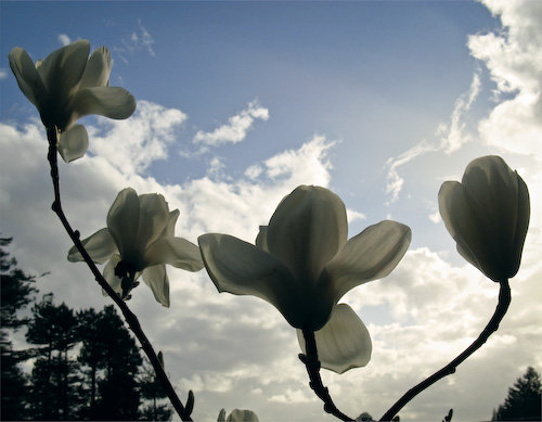 Backlit magnolia blossoms against partly-cloudy sky