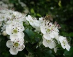 Hawthorne blossoms with bee