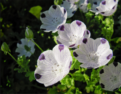 White nemophila blossoms with purple spots