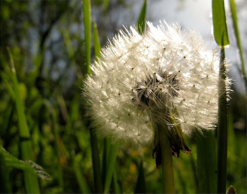 Backlit dandelion seed cluster