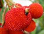 Red spiky fruits of Arbutus unedo with a ladybug-type insect